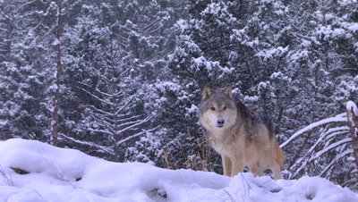 Gray Wolf trotting through the snow