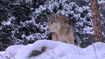 Gray Wolf staring intently down the valley then looking towards camera