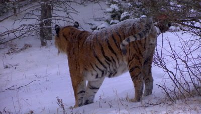 Siberian Tiger marking tree branches during a snowstorm