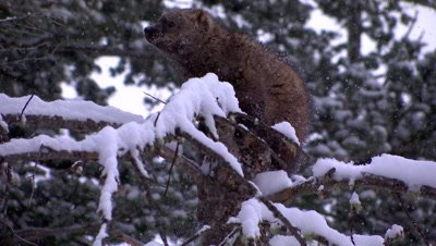 Fisher trying to climb down a tree