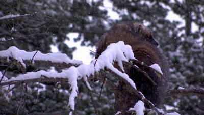 Fisher thing to climb down a tree during a snow storm