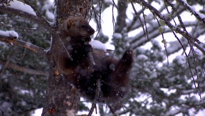 Fisher trying to regain balance on snow covered tree limb