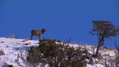 Young elk standing at the top of a ridge in Yellowstone National Park in winter