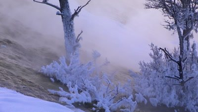 Snow covered trees in Yellowstone National Park geyser basin