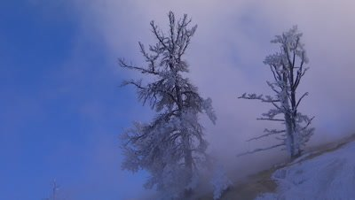 Snow covered trees in Yellowstone National Park