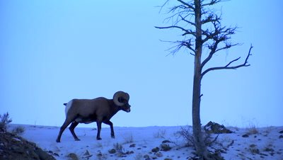 Bighorn sheep walking on top of snow covered ridge in Yellowstone National Park