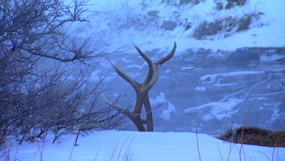 Just the antlers of an elk as it forages near a creek in Yellowstone National Park