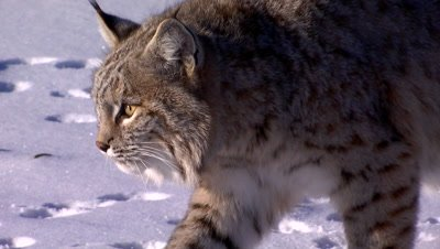 Bobcat walking on snow covered frozen creek
