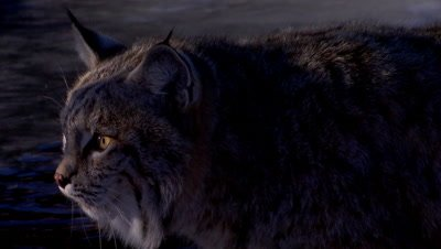 Bobcat in shadows and light