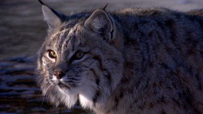 Bobcat in beautiful morning light