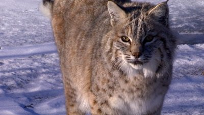 Bobcat looking around on frozen creek