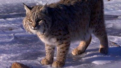 Bobcat standing on frozen creek looking around