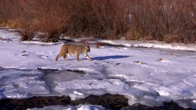 Bobcat walking on frozen creek ice searching