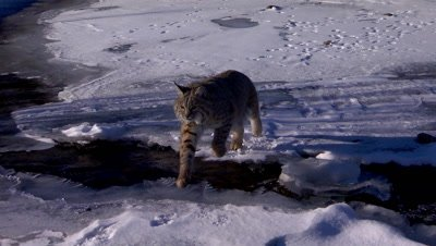 Bobcat jumping over part of an unfrozen creek