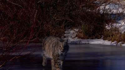 Bobcat walking out of the shadows on a frozen creek