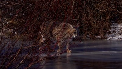 Bobcat walking out of the shadows on a frozen creek with reflection