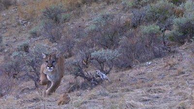 Mountain lion stalking then charging