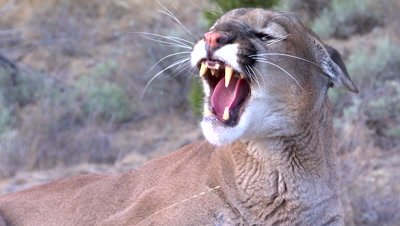 Mountain lion snarling and striking