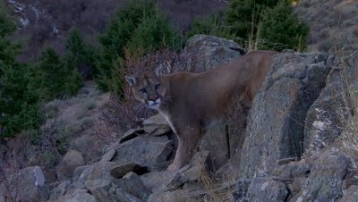 Mountain lion turning to look towards camera