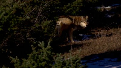 Gray wolf exiting the shadows and urinating on a tree