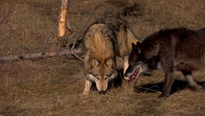 Gray Wolf sniffing grass for something