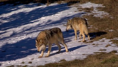 Gray Wolf eating snow while another wolf looks on