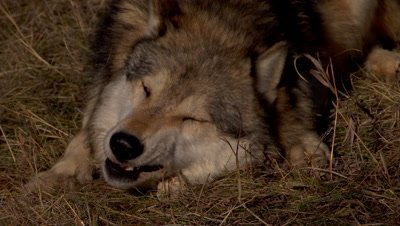 Gray Wolf chewing on old bone then rolling on it