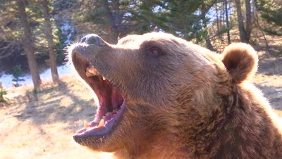 Grizzly Bear growling snarling