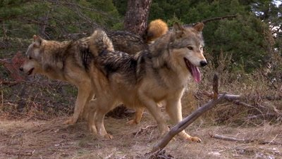 Two Gray Wolves urinating on tree then spreading scent