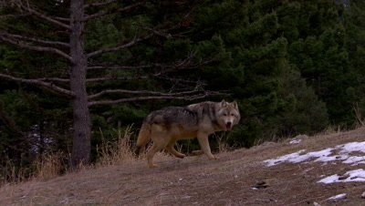 Gray Wolf walking,across and out of frame