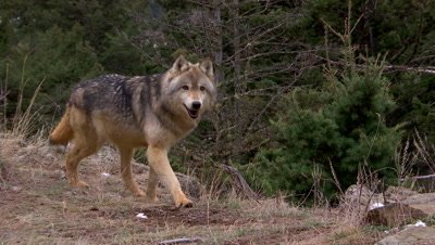 Gray Wolf walking out of frame