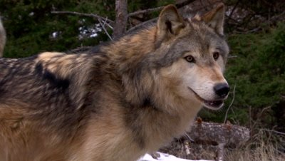 Gray Wolf looking at something then backing away