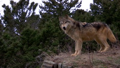 Gray Wolf looking intently down a mountain valley