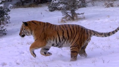 Siberian Tiger running through the snow
