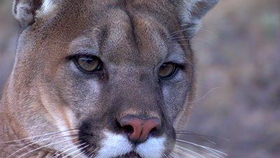 Mountain lion closeup watching