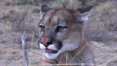 Mountain lion sticking out tongue small snarl