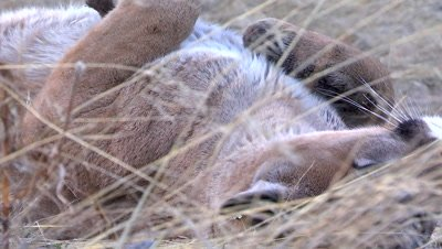Mountain lion rolling over in the grass