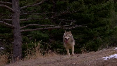 Gray wolf running over the top of a ridge