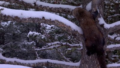 Fisher climbing down snow covered tree