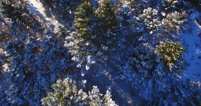 Camera title up as it passes over snow covered pine trees