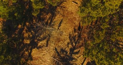 Aerial view of wolves running through a pine forest
