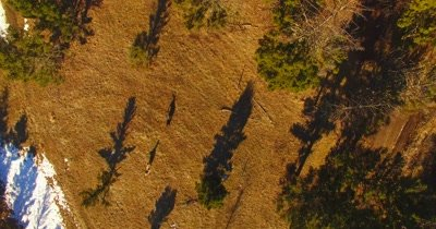 Aerial view of wolves running through a pine forests as camera follows