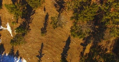 Aerial view of wolves running through a pine forestl