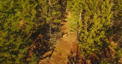 Aerial view of wolves running through a pine forests as camera tilts up