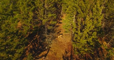 Aerial view of wolves running through a pine forest as camera follows