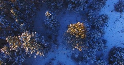 Beautiful aerial tilt up as camera flies over snow covered pine trees
