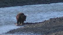Grizzlies Near River