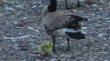 Preening Canadian Goose With Gosling