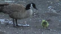 Foraging Canadian Goose And Gosling