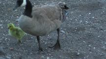 Canadian Goose With Gosling